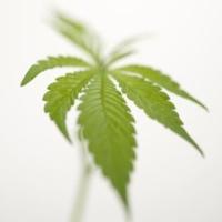 marihuána-levél, kannabisz, fájdalomcsillapító