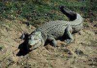 krokodiltámadás baleset lövés lőtt seb