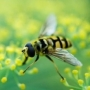 méhcsípés, allergia